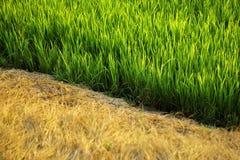 Gestorven geel gras en groene rijstinstallaties stock foto's