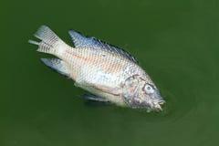 Gestorven vissen royalty-vrije stock afbeeldingen