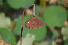 Gestorven Water Lily In een Japanse Vijver stock fotografie
