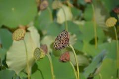 Gestorven Water Lily In een Japanse Vijver royalty-vrije stock foto