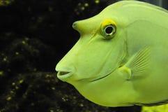 Gestoten gele vissen Stock Afbeeldingen