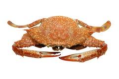Geströmt/kochte Blumenkrabbe/blaue Krabbe/blaue Schwimmerkrabbe/blaue Mannakrabbe/Sandkrabbe/-meeresfrüchte Lizenzfreies Stockfoto