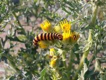 Gestreept Caterpillar op Ragwort stock afbeelding