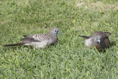Gestreept duifpaar royalty-vrije stock fotografie