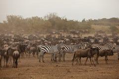Gestreept en het meest wildebeest Stock Foto's