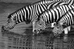 Gestreept (equusquagga) - het Nationale Park van Etosha - Namibië Royalty-vrije Stock Afbeelding