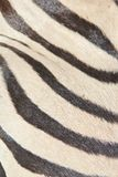 Gestreept - het Afrikaanse Wild - Zwart-wit Natuurlijk Art. Royalty-vrije Stock Fotografie