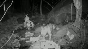 Gestreept Hyena het slepen karkas van binnenlands vee stock videobeelden