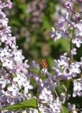 Gestreept insect op lilac bloesem stock afbeeldingen