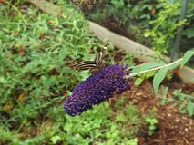 Gestreept Lang Wing Butterfly Royalty-vrije Stock Afbeelding