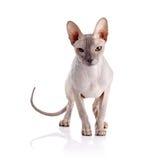 Gestreept met wit zit de kat op een stoel Royalty-vrije Stock Foto