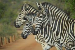 Gestreept Portret drie in het Nationale Park van Kruger royalty-vrije stock foto's