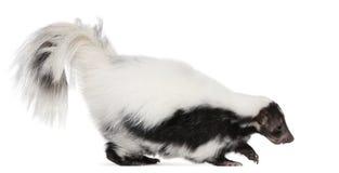Gestreept Stinkdier, Mephitis Mephitis, 5 jaar oud royalty-vrije stock afbeeldingen