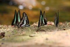 Gestreept swallowtail vlinder (Papilio-demolion) zuigend voedsel Royalty-vrije Stock Afbeeldingen