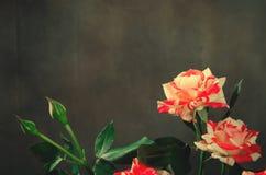 Gestreept Tiger Roses, Bloemen op Donkere Achtergrond, kaart voor Valentijnskaartendag, exemplaarruimte Stock Afbeeldingen