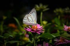 Gestreepte albatrosvlinder op roze bloem Royalty-vrije Stock Foto