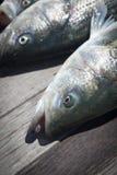 Gestreepte Baarzen die - vissen Royalty-vrije Stock Afbeeldingen