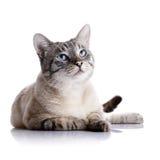 Gestreepte blauw-eyed kat Royalty-vrije Stock Fotografie