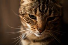 Gestreepte Cat Close Up Royalty-vrije Stock Fotografie