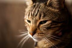 Gestreepte Cat Close Up Stock Foto's