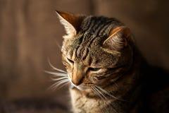 Gestreepte Cat Close Up Stock Afbeeldingen
