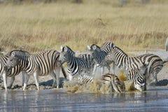 Gestreepte chaos bij waterhole in het Nationale Park van Etosha, Namibië Royalty-vrije Stock Foto's