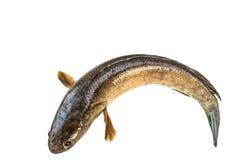 gestreepte die snakeheadvissen op wit met het knippen van weg worden geïsoleerd Stock Fotografie