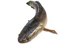 gestreepte die snakeheadvissen op wit worden geïsoleerd Stock Foto