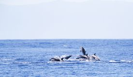 Gestreepte Dolfijn, dauphin rayé, coeruleoalba de Stenella image libre de droits