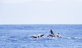 Gestreepte Dolfijn, Striped Dolphin, Stenella coeruleoalba royalty free stock image