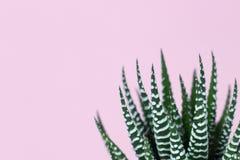 Gestreepte druk succulent op pastelkleur roze achtergrond royalty-vrije stock foto