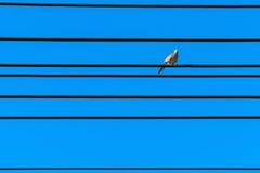 Gestreepte duif Stock Afbeelding