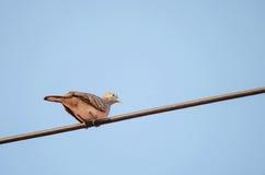 Gestreepte duif op een machtslijn Stock Foto