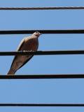 Gestreepte duiven Royalty-vrije Stock Afbeeldingen