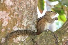 Gestreepte eekhoornzitting op een boom en het kauwen van een noot Stock Afbeelding