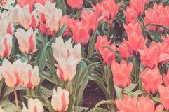 Gestreepte en rode tulpen op het bloembed Stock Afbeeldingen