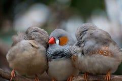 3 gestreepte finches die zich bij Bloedel-Serre in Vancouver, Brits Colombia nestelen royalty-vrije stock afbeeldingen