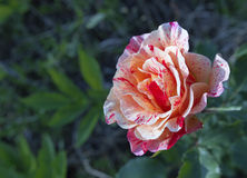 Gestreepte floribunda nam toe Stock Afbeeldingen
