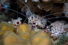 Gestreepte garnalen op de koralen Royalty-vrije Stock Foto's