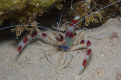 Gestreepte garnalen op de koralen Stock Fotografie