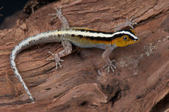 Gestreepte gekko stock fotografie