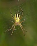 Gestreepte gele spin op een Web Stock Afbeeldingen