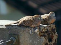 Gestreepte geslapen duif twee Stock Foto