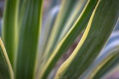 Gestreepte gloriosa van de bladerenyucca in het natuurlijke licht van de tuin Een successie van groene, witte, gele strepen stock afbeeldingen