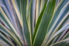 Gestreepte gloriosa van de bladerenyucca in het natuurlijke licht van de tuin Een successie van groene, witte, gele strepen van b stock afbeelding