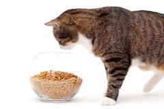 Grijze kat en droog voedsel royalty-vrije stock afbeelding