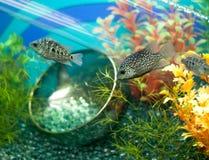 Gestreepte grijze vissen in verfraaid aquarium Royalty-vrije Stock Fotografie