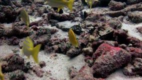 Gestreepte heldere gele lucianvissen onderwater op achtergrond van zeebedding de Maldiven stock videobeelden