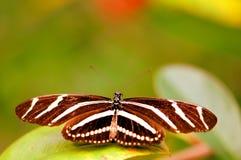 Gestreepte Heliconian-vlinder op blad (hogere kant) Stock Fotografie