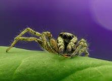 Gestreepte het springen spin Stock Fotografie